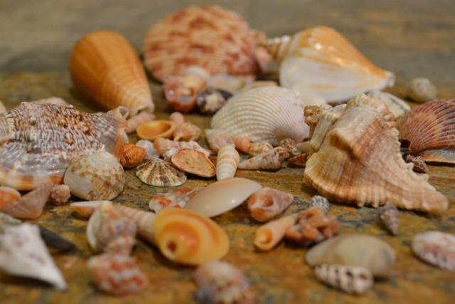 Seashells & Fossilized Sharks Teeth
