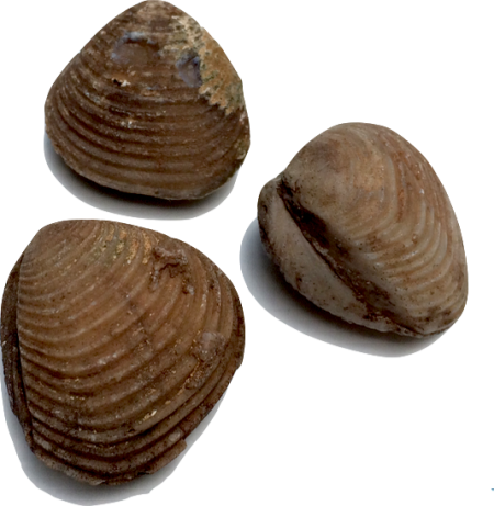 Dating fossil shells
