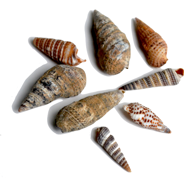 Cerith - These spiral-shaped shells are one of the more abundant shallow-water dwellers. There are so many varieties that it is often hard to identify the specific species.