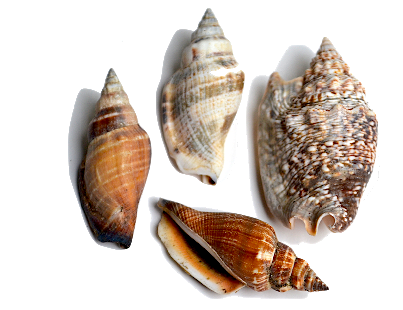 Conch - This family of shells is characterized by having a very distinctive shape. The shells come to a point on both ends.