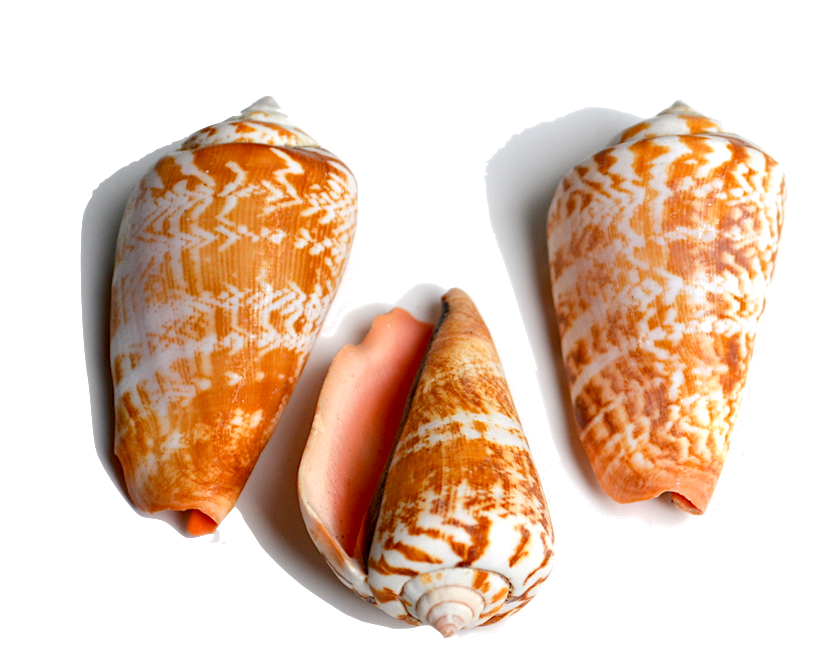 Cone - All animals in this family have shells that are conical in shape. They are popular with shell collectors due to the wide variety of colors and patterns.