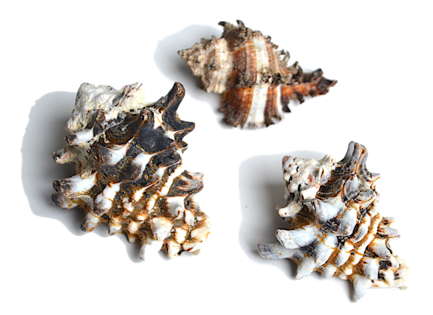 Murex - This family of shells is frequently collected for their beautiful, ornamental shell. You will also find these shells used in the hermit crab hobby.