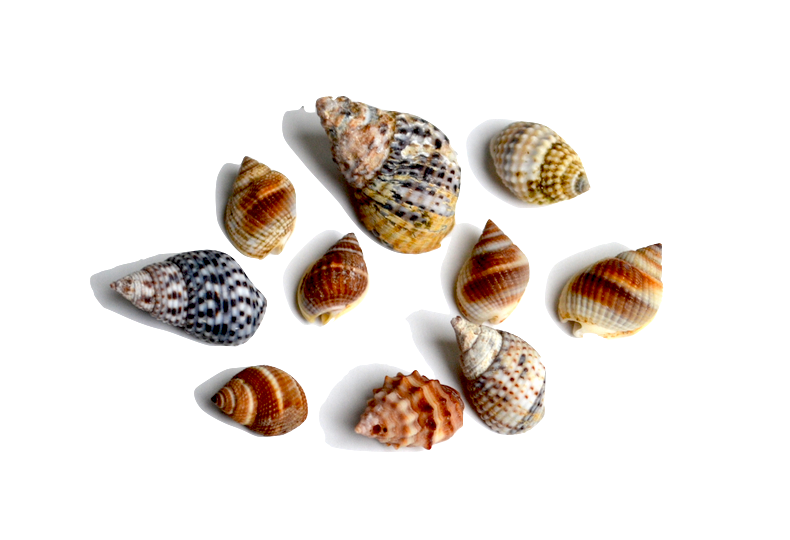Nassa - This family of gastropods includes a large variety of small animals of varying color, patterns and ornamentation. They are found worldwide foraging in sandy places. The size of this family makes it challenging to identify the specific species.
