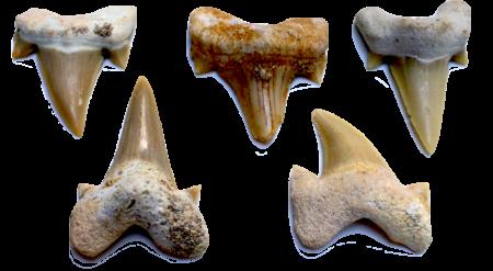 Otodus Tooth