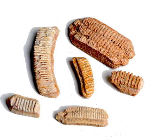 Stingray Plates - These fossils are of a stingray mouth plates used to crush their food.
